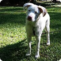 Australian Shepherd/Golden Retriever Mix Dog for adoption in Madison, Wisconsin - Augie:Playful! (GA)