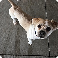 Adopt A Pet :: Vinnie - Chambersburg, PA
