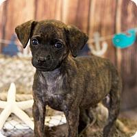 Adopt A Pet :: Millie - Little Rock, AR