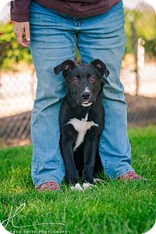 Border Collie Mix Puppy for adoption in Corning, California - FLASH