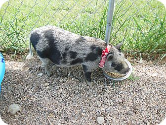 Pig (Potbellied) for adoption in Olivet, Michigan - Roger