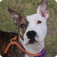 Adopt A Pet :: Dollar - Lacey, WA