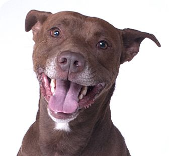 Labrador Retriever/American Pit Bull Terrier Mix Dog for adoption in Chicago, Illinois - Elton