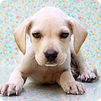 Adopt A Pet :: Bernie - Waldorf, MD