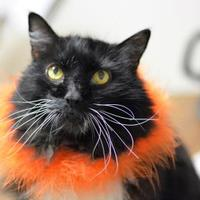 Domestic Mediumhair/Domestic Shorthair Mix Cat for adoption in Negaunee, Michigan - Nimble - Lonely Heart