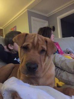 Retriever (Unknown Type)/Shar Pei Mix Dog for adoption in Richmond, Virginia - Chorizo