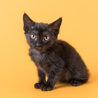 Domestic Shorthair Kitten for adoption in Columbia, Illinois - Pretzel