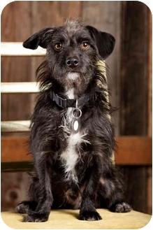 Cairn Terrier Mix Dog for adoption in Portland, Oregon - Benjamin
