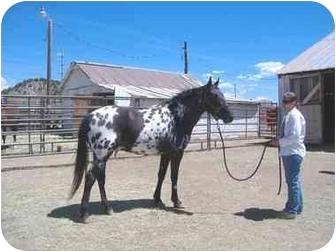 Appaloosa for adoption in Durango, Colorado - Bogie