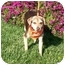 Photo 2 - Beagle/Terrier (Unknown Type, Small) Mix Puppy for adoption in Castro Valley, California - Buddy