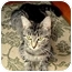 Photo 1 - Domestic Shorthair Cat for adoption in Port Republic, Maryland - April