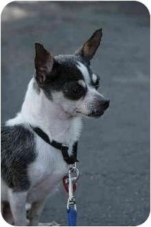 Chihuahua Dog for adoption in Los Angeles, California - Chaplin