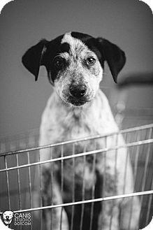 Australian Cattle Dog/Border Collie Mix Puppy for adoption in Portland, Oregon - Benson