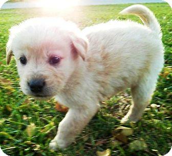 German Shepherd Dog/Golden Retriever Mix Puppy for adoption in Oswego, Illinois - I'M ADPTD Angls Ltr Cyrus Hunt