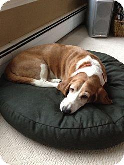 Basset Hound Dog for adoption in Rockaway, New Jersey - Sandy
