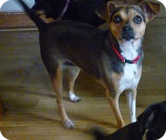 Rat Terrier/Chihuahua Mix Dog for adoption in Hillsville, Virginia - Mizzy