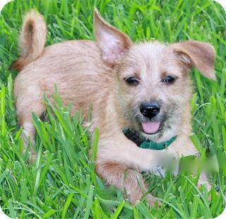 Cairn Terrier Mix Dog for adoption in Norwalk, Connecticut - Desmond