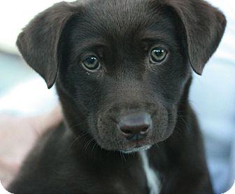Labrador Retriever Mix Puppy for adoption in Canoga Park, California - Bearess