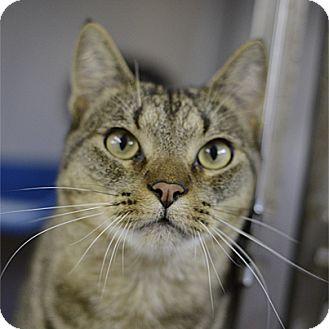 Domestic Shorthair Cat for adoption in Stillwater, Oklahoma - Shadow