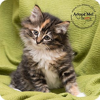 Domestic Longhair Kitten for adoption in Troy, Ohio - Molly