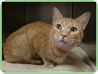 Domestic Shorthair Cat for adoption in Marietta, Georgia - GRETCHEN