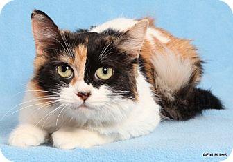 Calico Cat for adoption in Las Vegas, Nevada - Trinidad