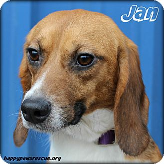Beagle Dog for adoption in South Plainfield, New Jersey - Jan Brady