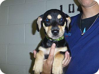 Beagle Mix Puppy for adoption in Oviedo, Florida - Layla