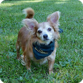 Chihuahua/Corgi Mix Dog for adoption in Mocksville, North Carolina - Puddin Pop