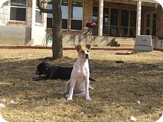 Jack Russell Terrier/Terrier (Unknown Type, Medium) Mix Dog for adoption in San Antonio, Texas - Toby