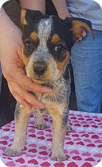 Blue Heeler/Beagle Mix Puppy for adoption in Allentown, Pennsylvania - Juniper