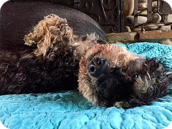 Havanese Dog for adoption in Pittsburgh, Pennsylvania - Quinn