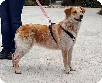 Cattle Dog/Labrador Retriever Mix Dog for adoption in Lathrop, California - Mila