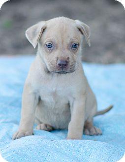 Black Mouth Cur/Boxer Mix Puppy for adoption in Seneca, South Carolina - Savannah $250