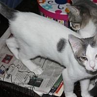 Domestic Shorthair Cat for adoption in Troy, Illinois - Adso Fostered (Teresia)
