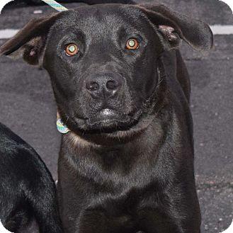 Labrador Retriever Mix Dog for adoption in Minneapolis, Minnesota - Jack