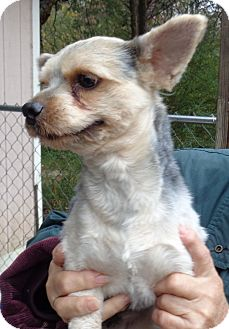 Yorkie, Yorkshire Terrier Dog for adoption in Crump, Tennessee - Mengo