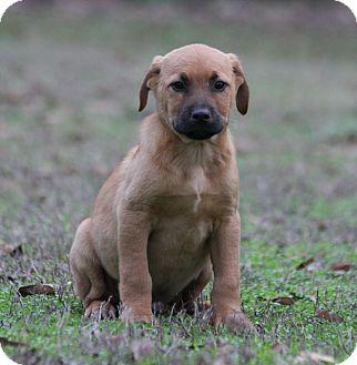 Shepherd (Unknown Type)/Labrador Retriever Mix Puppy for adoption in Allentown, New Jersey - Jeff