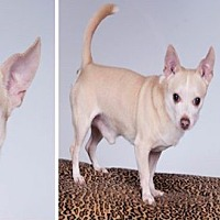 Chihuahua Mix Dog for adoption in Chicago, Illinois - Burrito