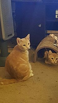 Domestic Shorthair Cat for adoption in Morgan Hill, California - Neltharion