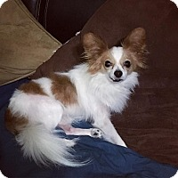 Adopt A Pet :: Scooby - Davie, FL