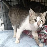Domestic Shorthair/Domestic Shorthair Mix Cat for adoption in Ashtabula, Ohio - Titus