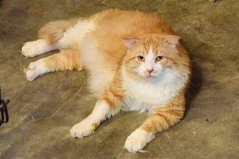 Domestic Mediumhair Cat for adoption in Hammond, Louisiana - Grover