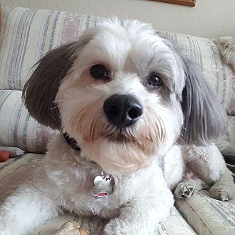 Lhasa Apso/Bichon Frise Mix Dog for adoption in Laguna Hills, California - Max