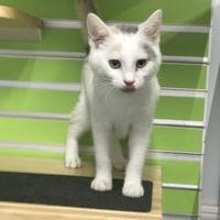 Adopt A Pet :: Amber - Vincennes, IN