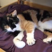 Domestic Shorthair/Domestic Shorthair Mix Cat for adoption in Hudson, New York - Roseanna