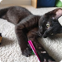 Domestic Shorthair Kitten for adoption in Duluth, Georgia - Tina