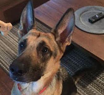 German Shepherd Dog Dog for adoption in Dripping Springs, Texas - Louis