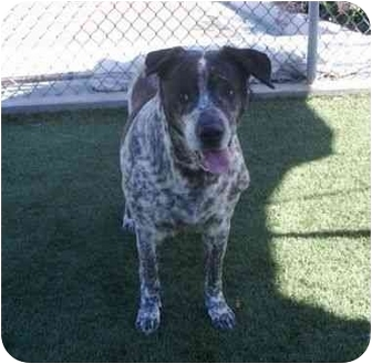 Australian Cattle Dog Mix Dog for adoption in San Diego, California - May