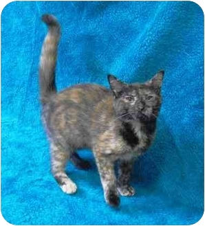 Domestic Shorthair Kitten for adoption in Honesdale, Pennsylvania - Dolly